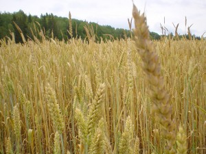 wheat-4 - Public Domain images